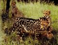 King cheetahs! - king-cheetah photo