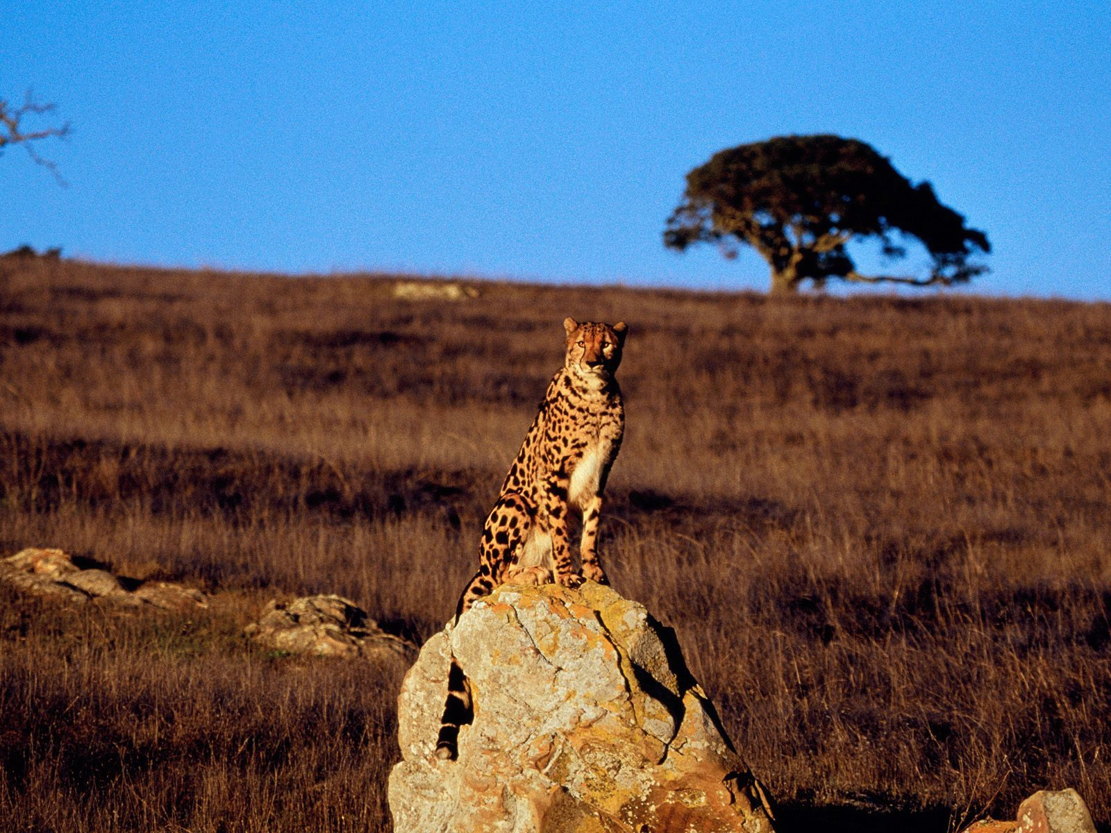 King Cheetah vs Cheetah King Cheetah King Cheetahs