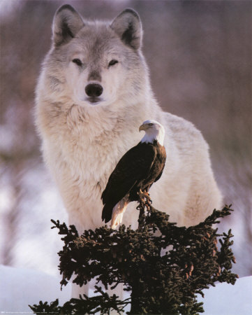Flora And Fauna Images Lone Wolf Wallpaper Background Photos