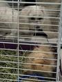 My guinea pig Conan O' brian