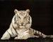 White tigers! - white-tiger icon