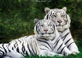 White tigers! - white-tiger photo