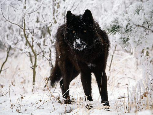 a lone lobo