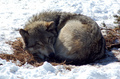 cute wolf ^^ - the-anubians-wolf-pack photo