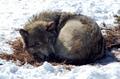 cute chó sói, sói ^^