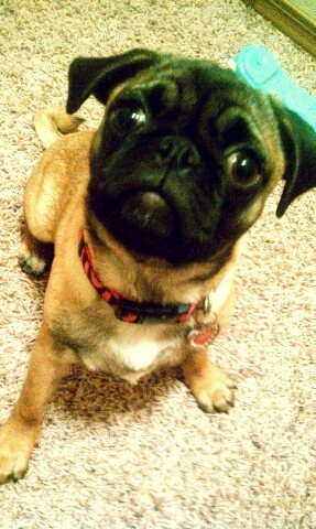 Cocoa- Pugs Not Drugs