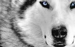 guided light wolf pack images pretty wolf wallpaper and background