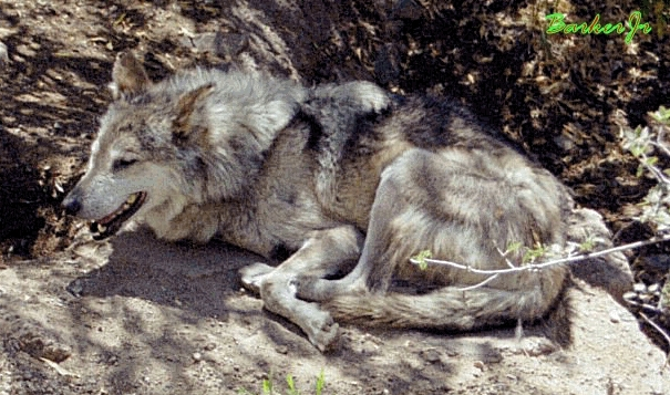wolf Bilder <3