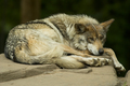 wolf images <3