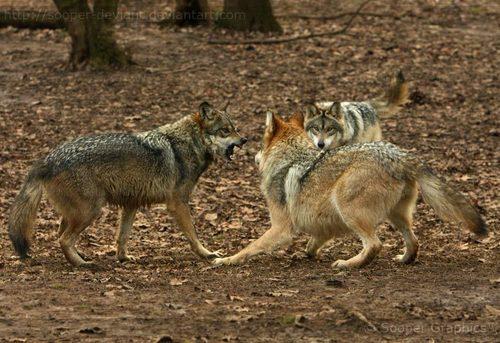 lobo imagens <3