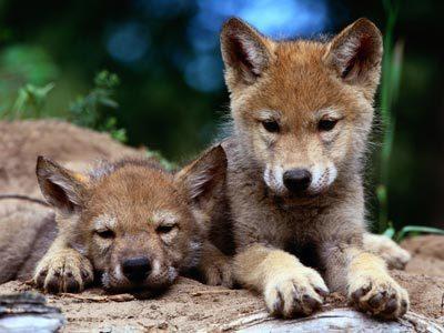 بھیڑیا تصاویر <3