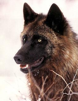 Benny~Alpha/Pack leader