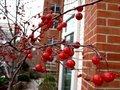 CrabApple 나무, 트리
