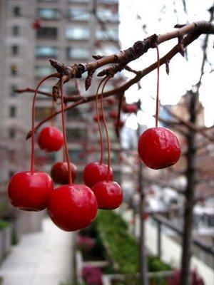 Red Hintergrund probably with a sweet kirsche entitled CrabApple baum
