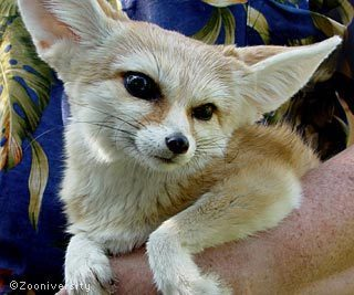 fennec foxes images cute wallpaper and background photos 19295242