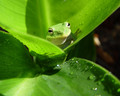 Green Frog Wallpaper