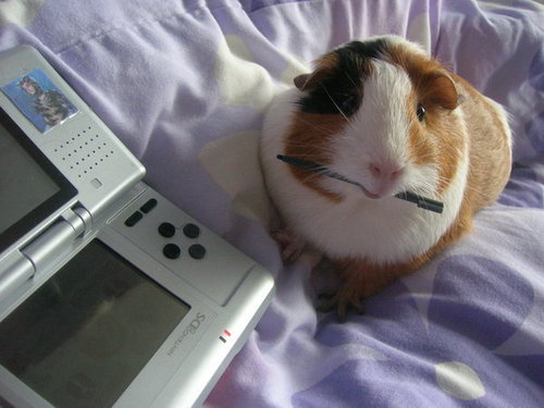 Guinea Pig and Nintendo DS - guinea-pigs Photo