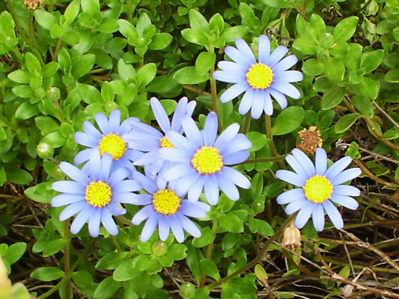 Flora and Fauna My Blue Daisies