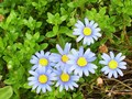 My Blue Daisies - flora-and-fauna screencap
