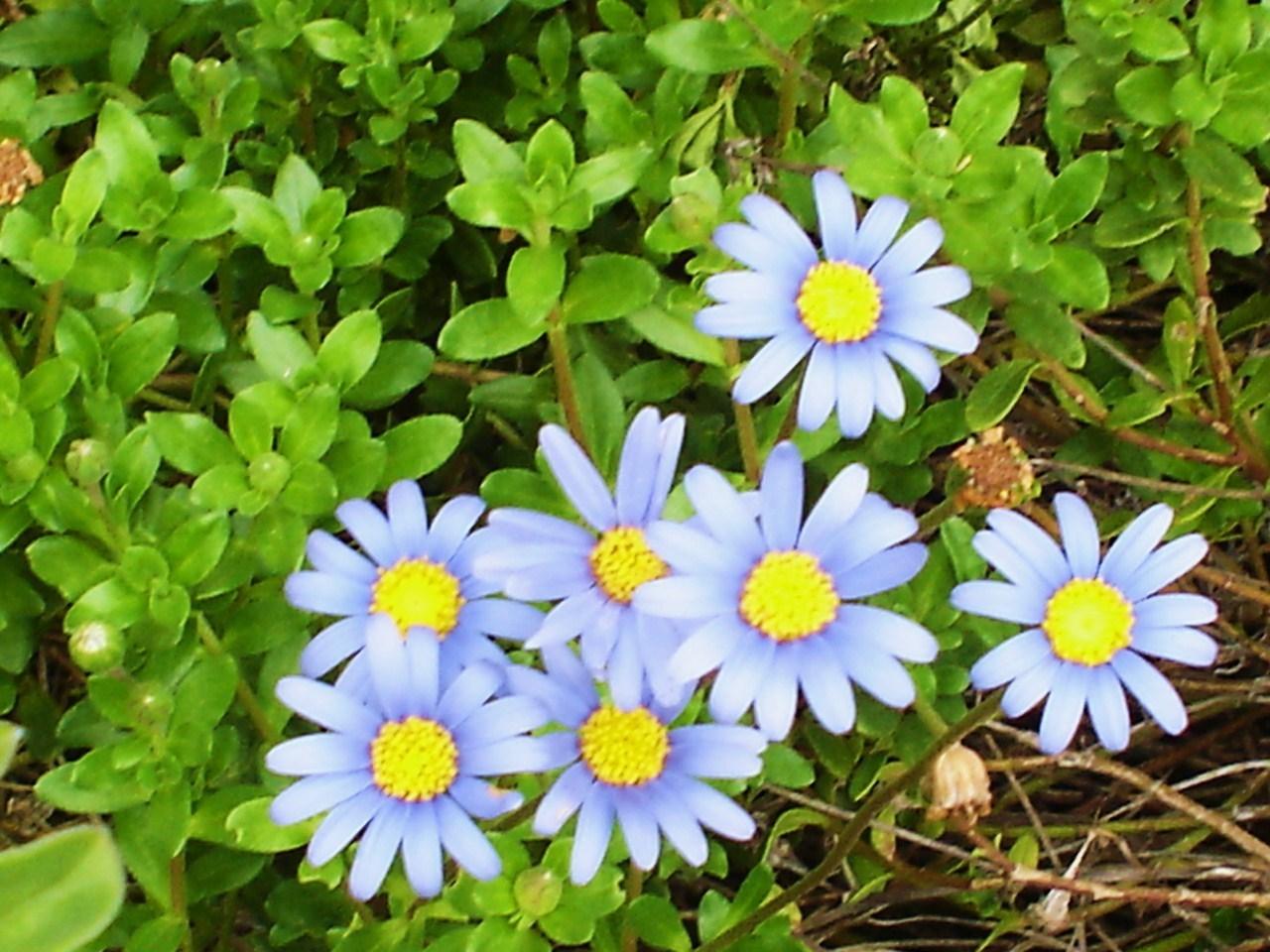 My Blue Daisies