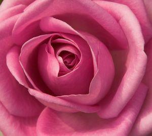 merah jambu rose for Shiriny