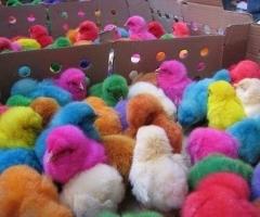 arcobaleno Chicks
