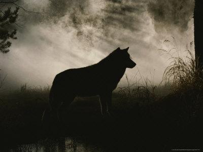 بھیڑیا sillouhette