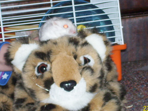 my hamster crystel on toy's head