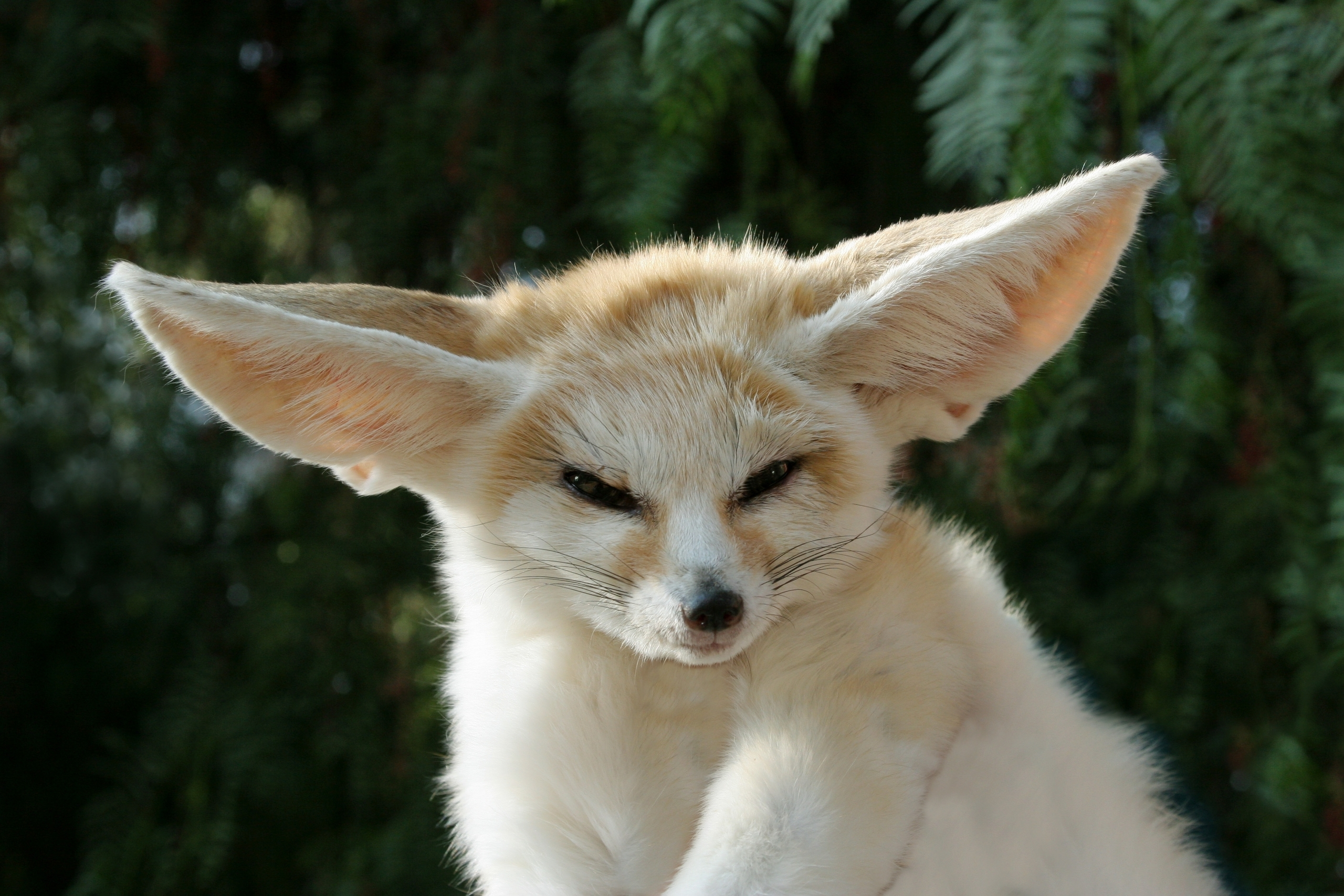 Fennec Foxes images the cuteness that is the fennec fox HD ...