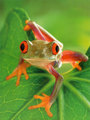 Cute little Froggie - flora-and-fauna photo