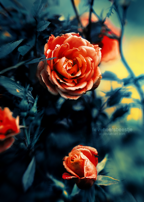 Roses_by_moonlight