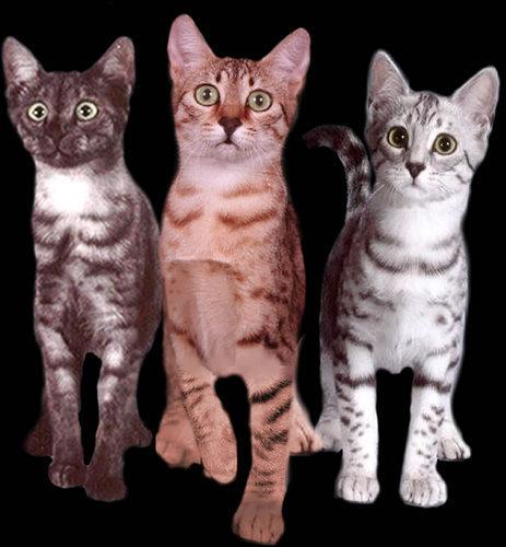 """Sussie """"Black"""" Sapphire: kucing"""
