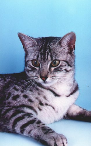 "Sussie ""Black"" Sapphire: बिल्ली"