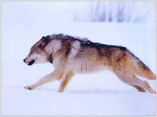 running 狼