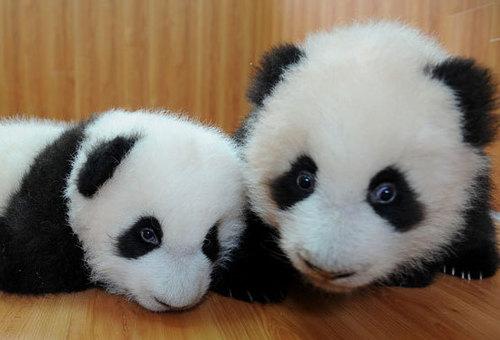 Cutest パンダ