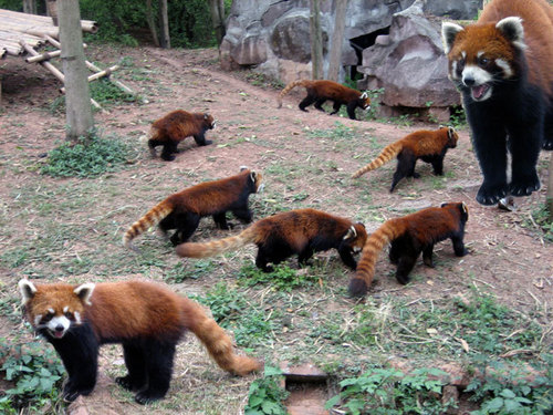 THE ALLIANCE OF RED PANDA BELIEVERS Hintergrund titled Red Pandas