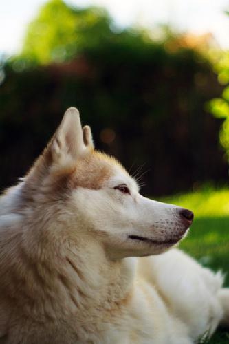 Siberian Huskies wallpaper entitled Umea