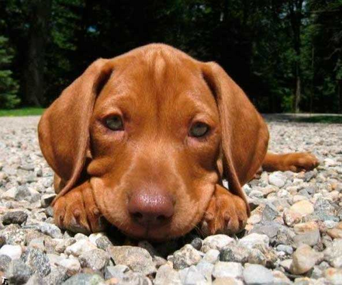 cute anak anjing, anjing