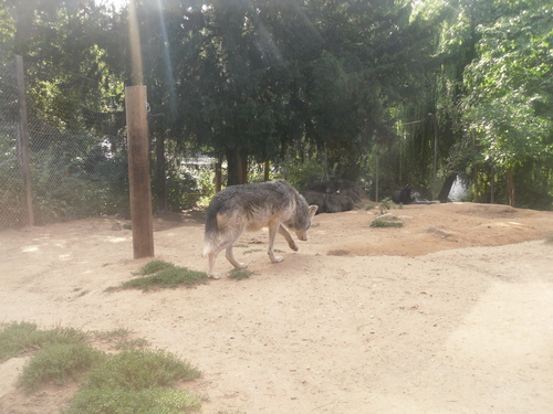 lebih serigala