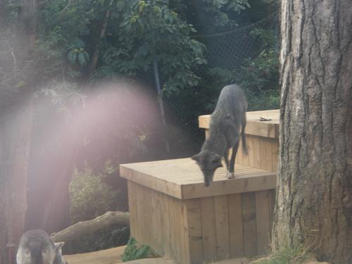 serigala at colchester zoo (UK)
