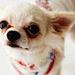 Charming Chihuahua - chihuahuas icon