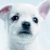 Chihuahuas 写真 titled Charming チワワ