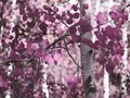 Purple Tree♥ - daydreaming wallpaper