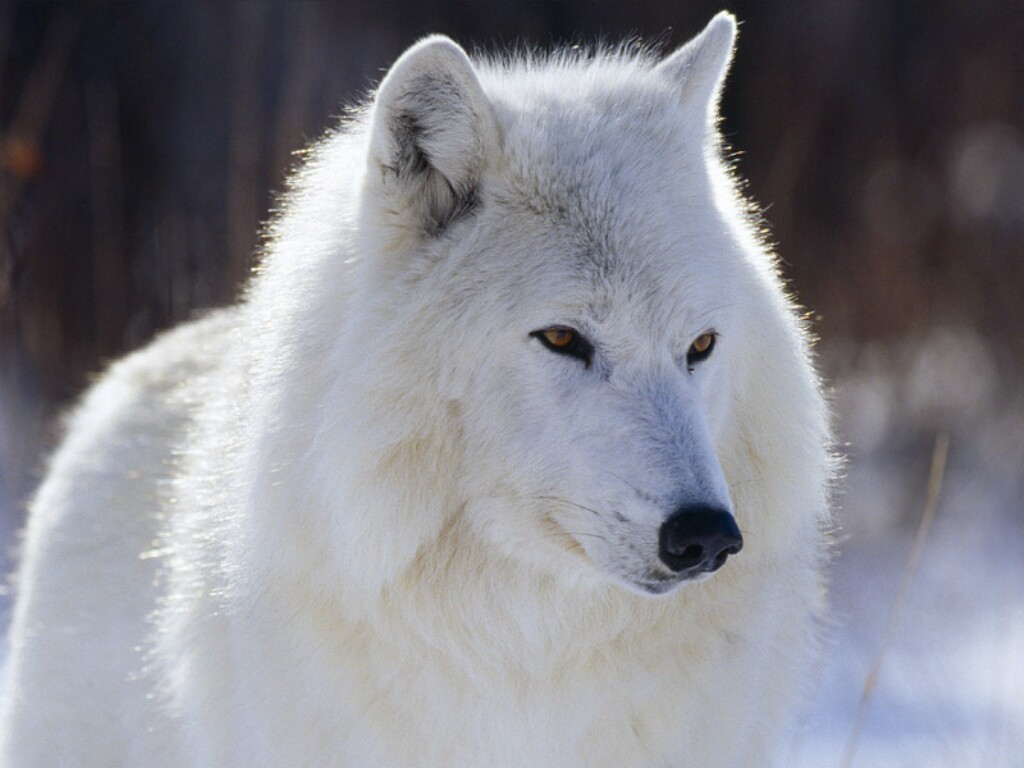 serigala un-dominated