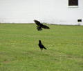 crows - crows-and-ravens photo