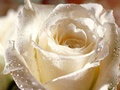 A Beautiful Rose For The Beautiful Dame Margaret Rutherford