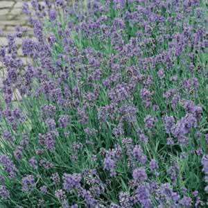 Beautiful Lavender For The Great Genius Margaret Rutherford