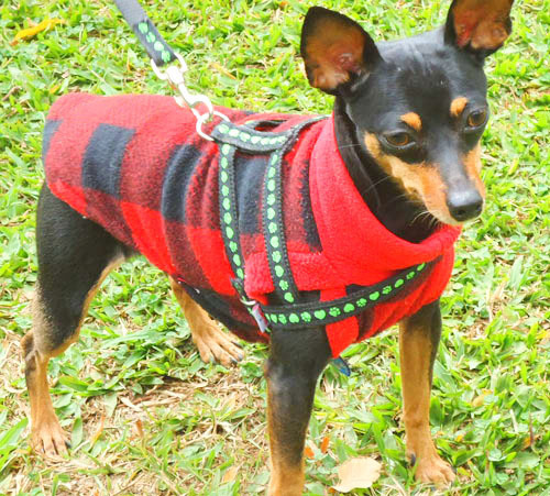 Cute Pinscher