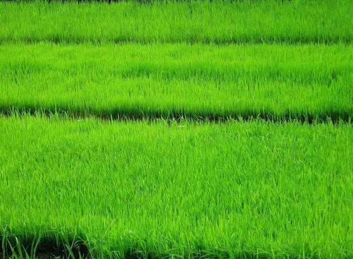 Green wallpaper titled riso Paddy