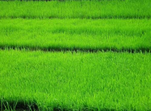 nasi, beras Paddy